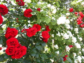 赤い薔薇と白いバラ紅白の薔薇.jpg