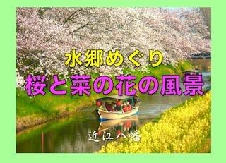 近江八幡の水郷めぐり(桜と菜の花の競演).jpg