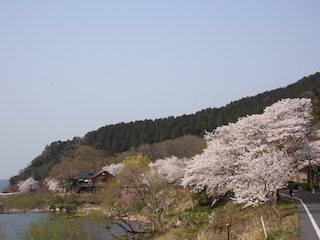 近江八幡市のシャーレ水ヶ浜と桜.jpg