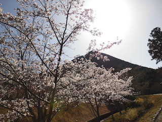 近江富士花緑公園の桜と三上山(近江富士).jpg