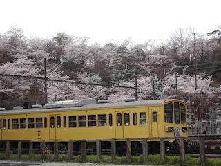 近江鉄道八日市駅の電車と桜.jpg