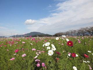 野田町のコスモス畑.jpg