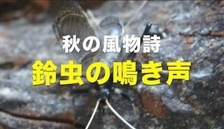 鈴虫の鳴き声.jpg