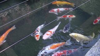 錦鯉が無料で見られる観光スポット.jpg