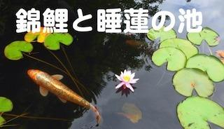 錦鯉と睡蓮の池.jpg