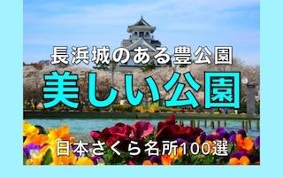 長浜城のある豊公園の美しい桜と噴水.jpg