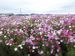 関西・滋賀のコスモス畑.jpg