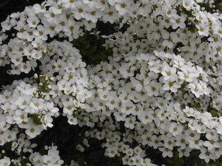 雪柳の可憐で白い花びら.jpg