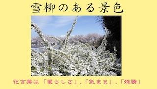 雪柳(ユキヤナギ).jpg
