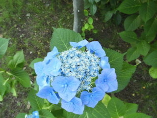 青いアジサイ.JPG