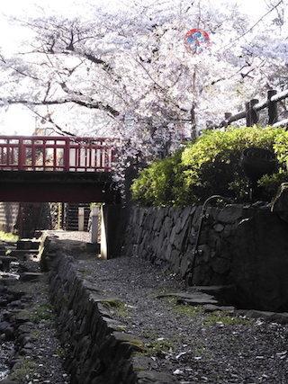 風情のある散策路の桜とお花見.jpg