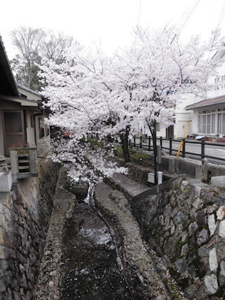 風情のある清水川の散策路と桜並木.jpg