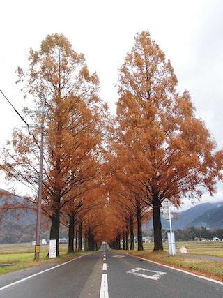 高島市メタセコイア並木.jpg