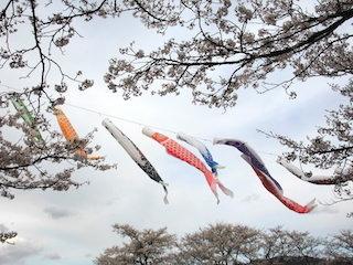 鯉のぼりと桜.jpg