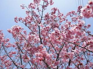黎明の里の桜の景色.jpg