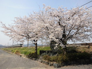JR琵琶湖線の鉄道と桜の風景(撮り鉄).jpg