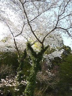 Vサインの桜の咲く木.jpg